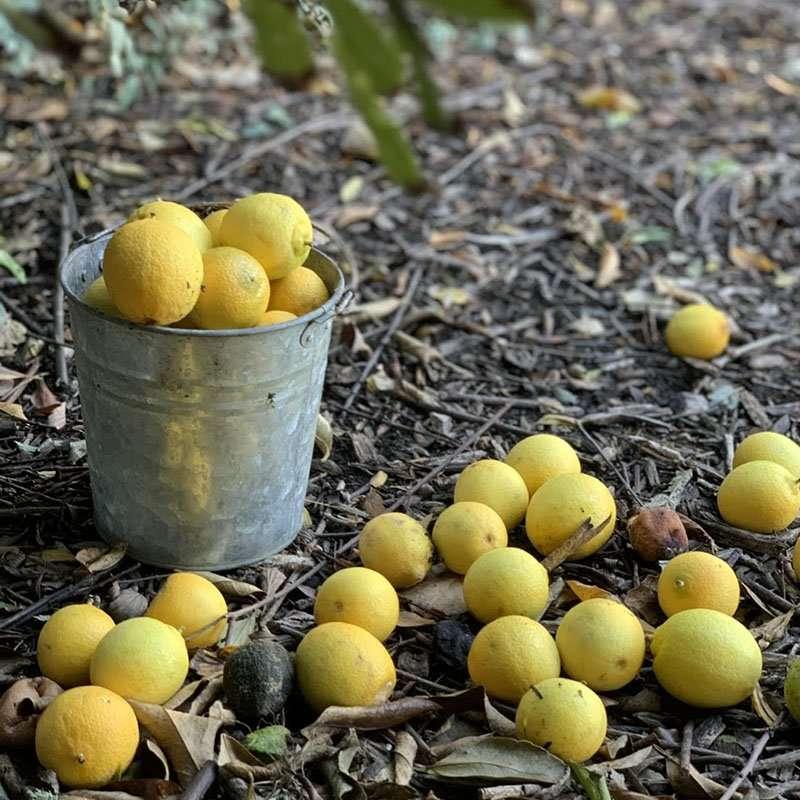 pick lemons in winter